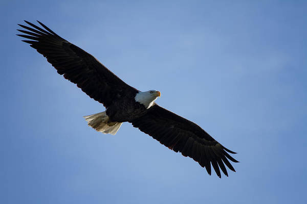 Flying Eagle Photograph - Soaring by Kim Hojnacki