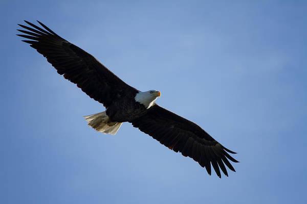 Bald Eagle Photograph - Soaring by Kim Hojnacki