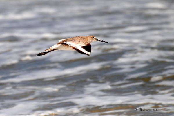 Photograph - Soaring Willet by Dan Williams