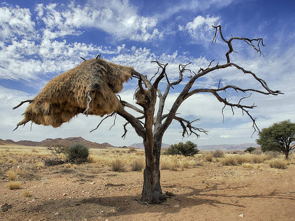 Alexander Photograph - Sociable Weaver Nest Namib Desert by Alexander Koenders