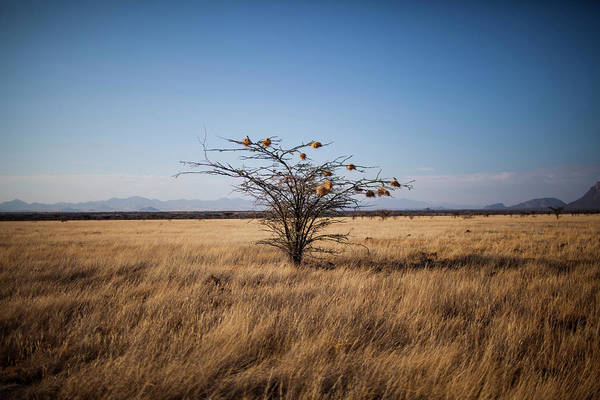 Bird In Tree Photograph - Sociable Weavers Nests In An Acacia by Aaron Joel Santos