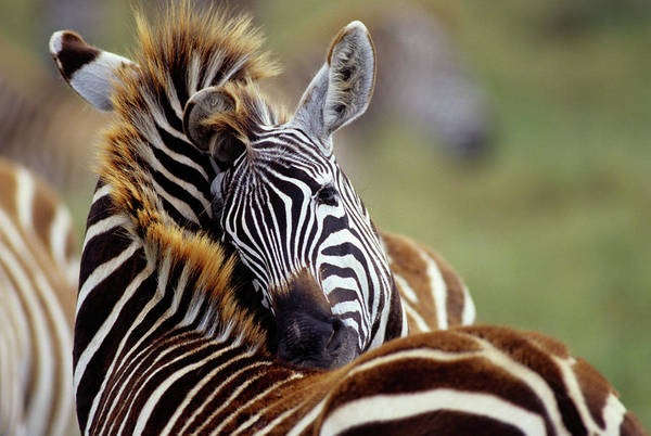 Social Living Wall Art - Photograph - Social Grooming Of Burchells Zebra by Animal Images