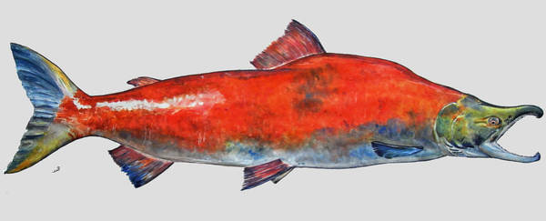 Large Wall Art - Painting - Sockeye Salmon by Juan  Bosco