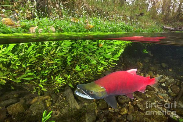 Wall Art - Photograph - Sockeye Salmon Migrating by Yva Momatiuk John Eastcott