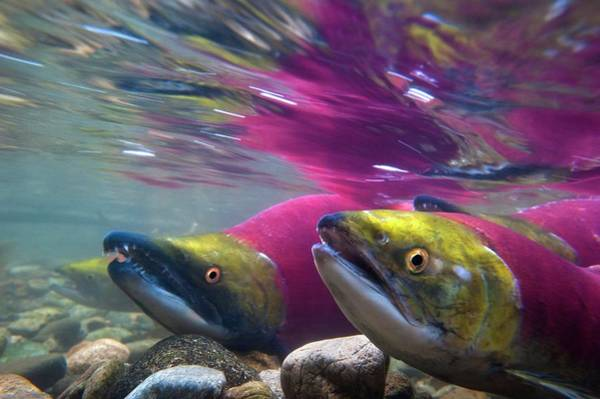 Freshwater Photograph - Sockeye Salmon Spawning by David Nunuk/science Photo Library