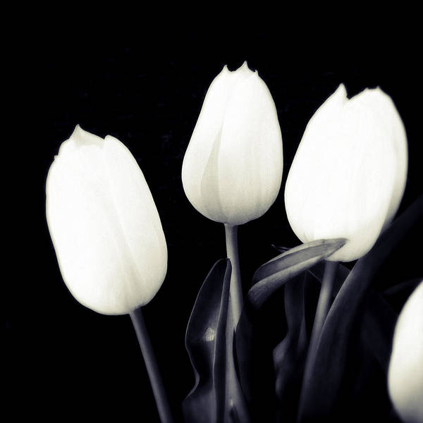 Bright Wall Art - Photograph - Soft And Bright White Tulips Black Background by Matthias Hauser