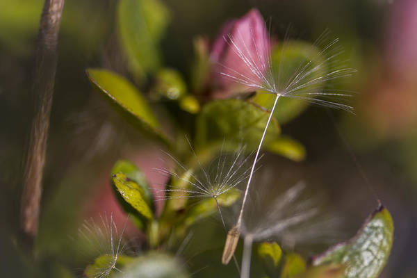 Photograph - Soft And Delicate by Windy Corduroy