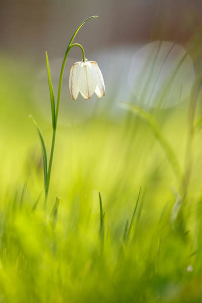 Fritillaria Photograph - Soft Awakenings - White Chess Flower by Roeselien Raimond