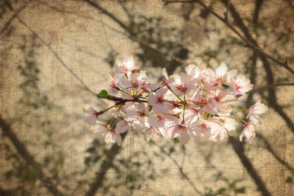 Photograph - Soft Caress Of Pink by Paulette B Wright
