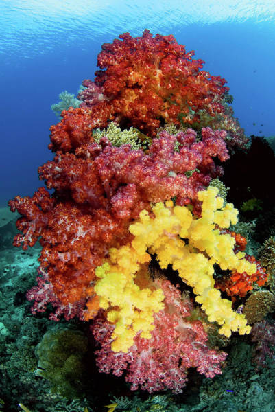 Wall Art - Photograph - Soft Corals On Reef, Raja Ampat by Jaynes Gallery