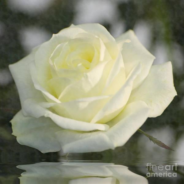 Soft Cream Rose Art Print