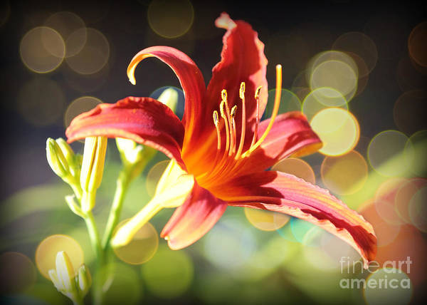 Photograph - Soft Daylily by Carol Groenen