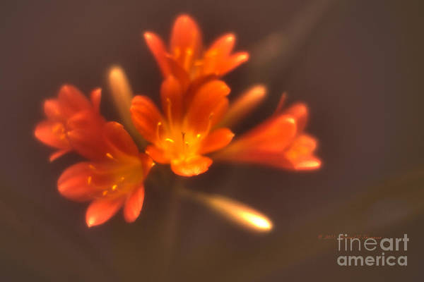 Photograph - Soft Focus Kaffir Lily by Richard J Thompson