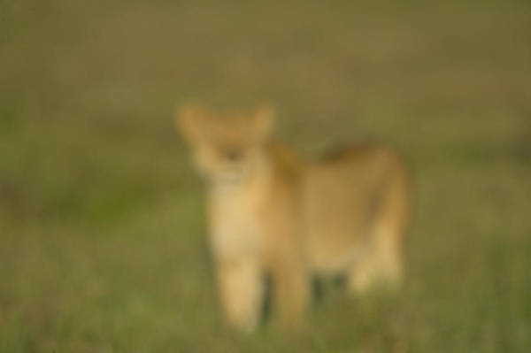 Wall Art - Photograph - Soft Focus Lioness Panthera Leo by Animal Images
