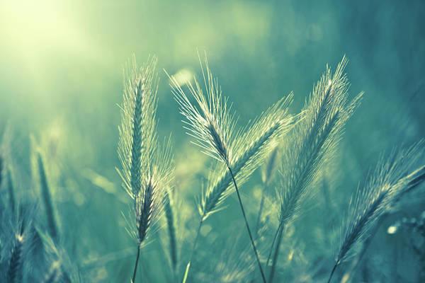 Ornamental Grass Photograph - Soft Focus Macro Toned Image Of by Jasmina007