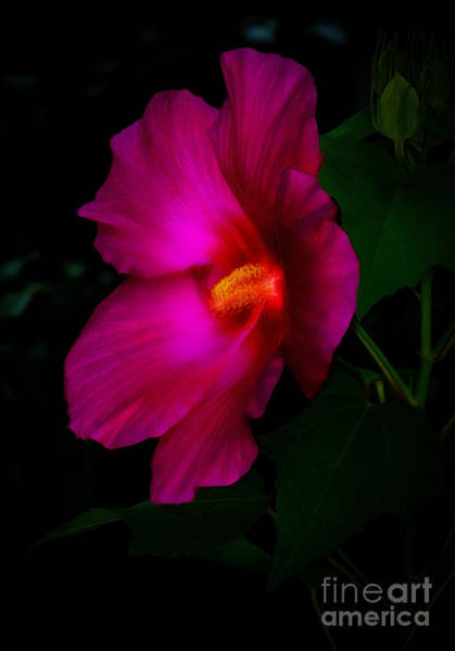 Photograph - Soft Hibiscus by Dave Bosse