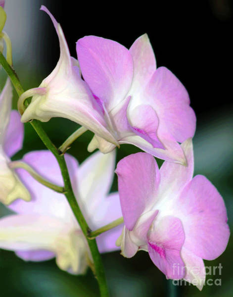Photograph - Soft Honolulu Orchids by Larry Oskin