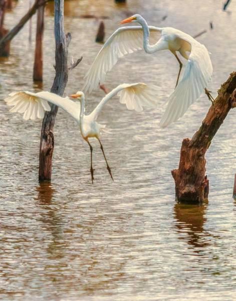 Photograph - Soft Landing Two Egrets by Richard Kopchock