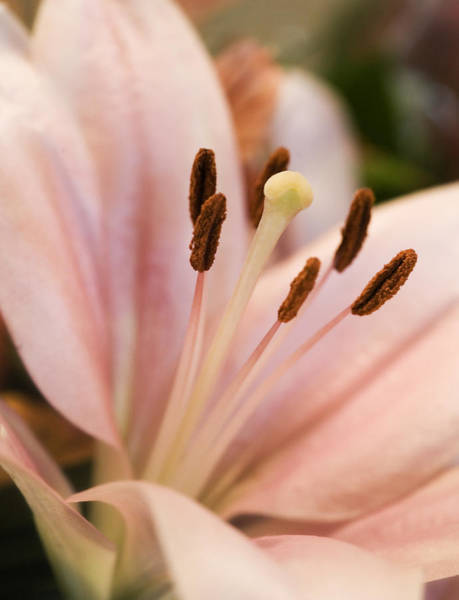 Photograph - Soft Lily by Marilyn Hunt