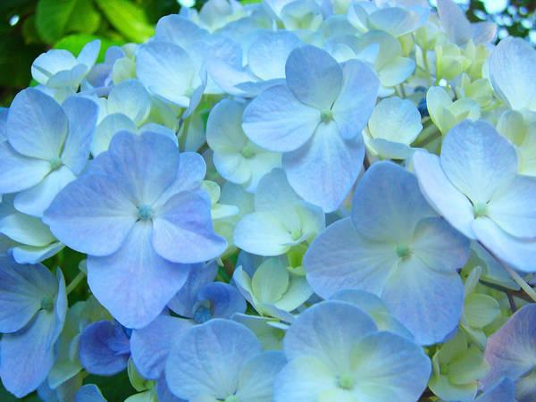 Wall Art - Photograph - Soft Pastel Blue Hydrangea Flower Petals by Baslee Troutman