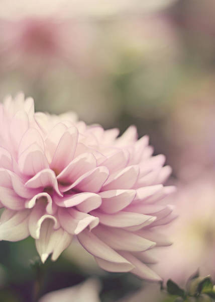 Photograph - Soft Pink Dahlia by Heather Applegate