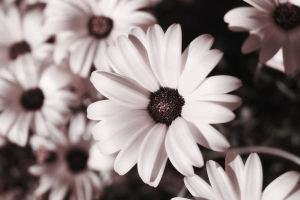 Photograph - Soft Pink Daisies by MM Anderson