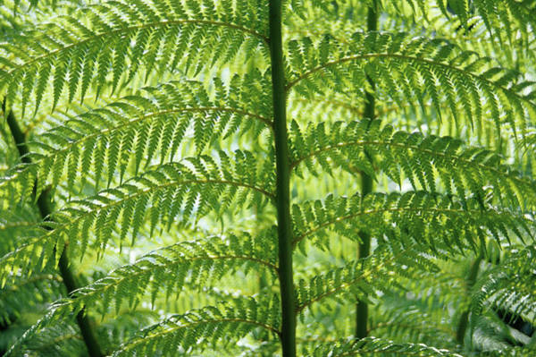 Wall Art - Photograph - Soft Treefern Fronds by Duncan Smith/science Photo Library