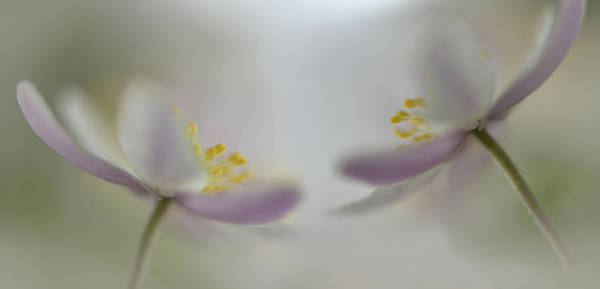Close-up Photograph - Soft Whispering by Heidi Westum