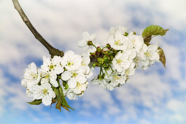 Photograph - Soft White Apple Blossoms Blue Sky And Beautiful Clouds by Matthias Hauser