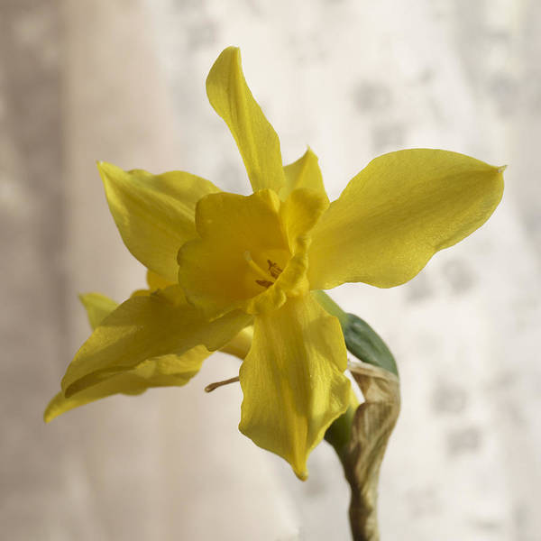 Photograph - Soft Yellow Daffodils by MM Anderson