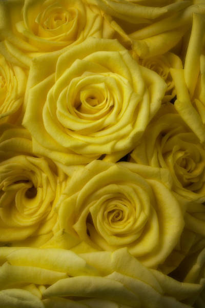 Wet Rose Wall Art - Photograph - Soft Yellow Roses by Garry Gay