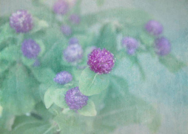 Photograph - Softly Clover by Kim Hojnacki