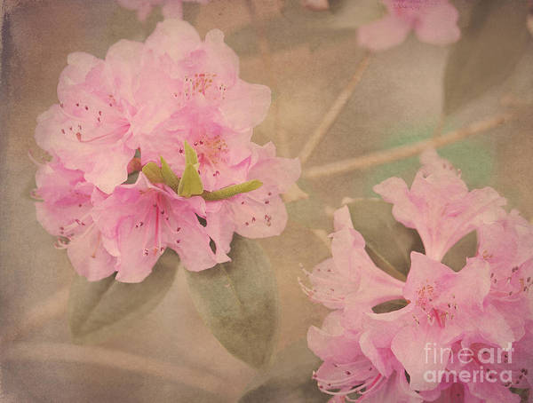 Azalia Photograph - Softly Pink by Arlene Carmel