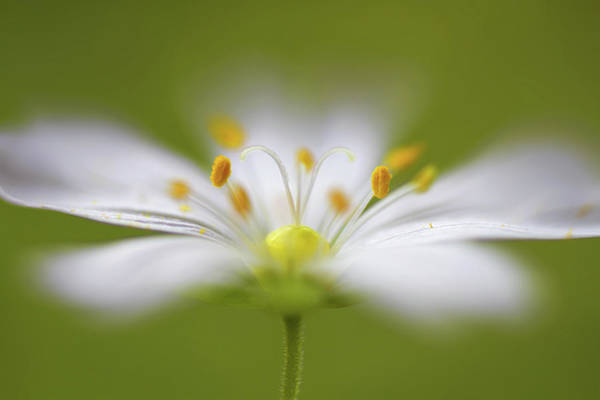 Blur Wall Art - Photograph - Softly Stitchwort by Mandy Disher