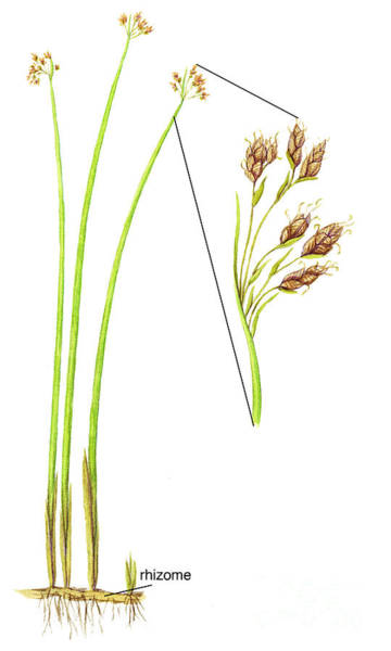Photograph - Softstem Bulrush by Carlyn Iverson