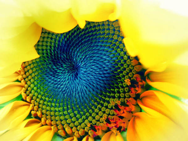 Sunflower Seeds Photograph - Solar Energy by Marianna Mills