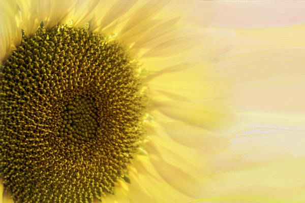 Sunflower Seeds Photograph - Solar Flare by Diane Schuster