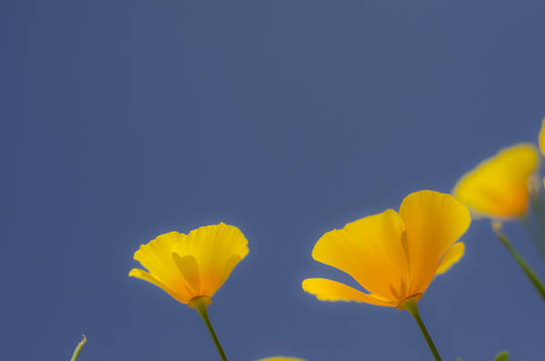 California Poppy Photograph - Solar Flares by Aaron Bedell