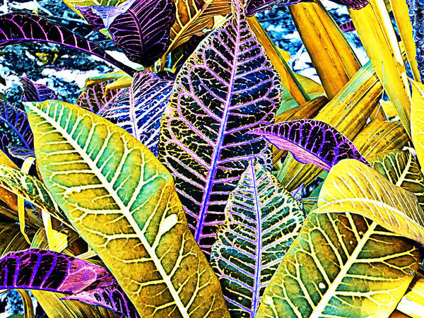 Photograph - Solarized Crotons by Bill Barber