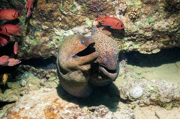 Eels Photograph - Soldierfish And Giant Morays On A Reef by Georgette Douwma
