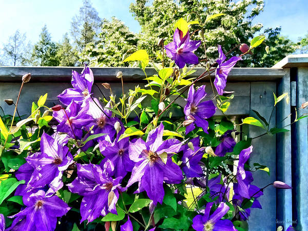 Photograph - Solina Clematis On Fence by Susan Savad