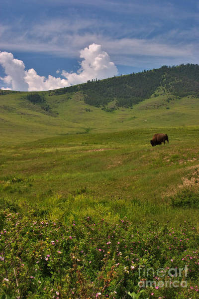 Photograph - Solitary Bison by Charles Kozierok
