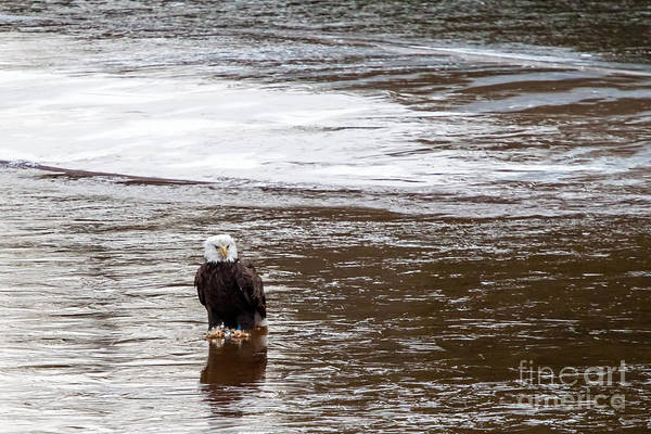 Photograph - Solitary Eagle by Eleanor Abramson