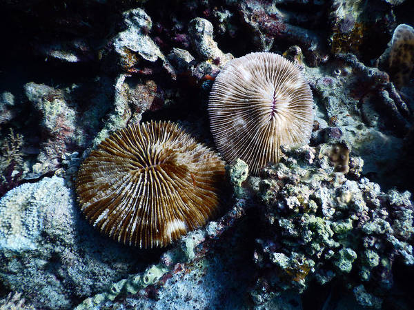 Wall Art - Photograph - Solitary Fungia Coral by Carleton Ray