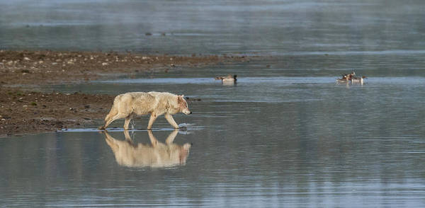 Alpha Wolf Wall Art - Photograph - Solitary Procession by Sandy Sisti