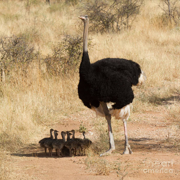 Photograph - Somali Ostrich Family by Chris Scroggins