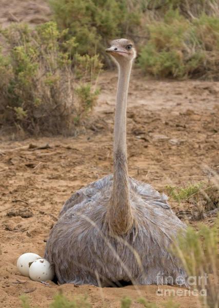 Photograph - Somali Ostrich On Nest by Chris Scroggins