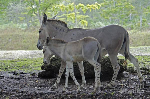 Equus Africanus Photograph - Somali Wild Ass by Mark Newman