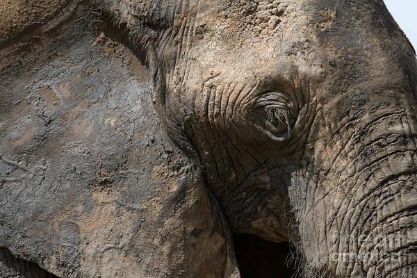 Photograph - Some Elephants Prefer Mud by Chris Scroggins
