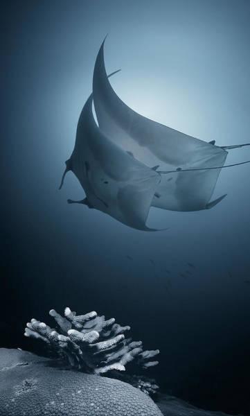 Reef Shark Photograph - Sonata by Andrey Narchuk